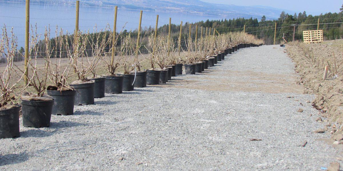 Stikkelsbærplanting under tilbakeføringen av hagen. (Foto: Marianne Olssøn)