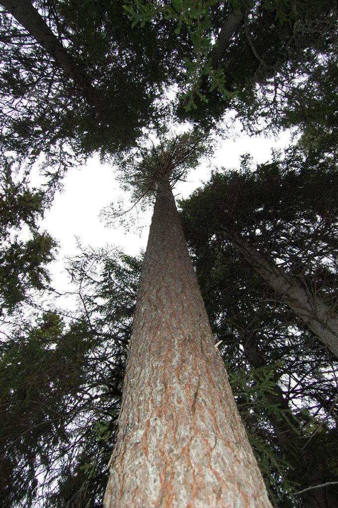 Urskogen i Gutulia i Engerdal kommune, Hedmark, er et godt referanseområde for å lære hvordan det så ut før det moderne skogbruket gjorde sitt inntog. (Foto: Einar Engen/Kulturminnefondet)