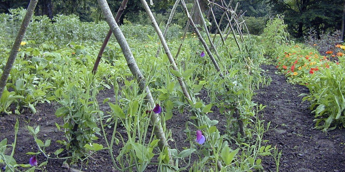 Bønner og ertar har alltid vore dyrka i hagen. Her er klatrestativ for bønner og erter etter gammal modell. Ringblom, blomkarse og mange andre blomar pyntar opp mellom radene av grønsaker i hagen. Foto: Margun Eik