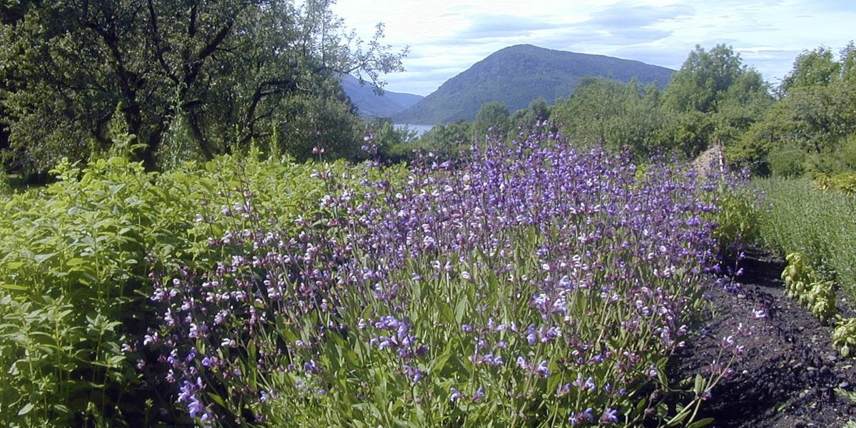 Salvie med vakre blå blomar! Salvie, sitronmelisse, isop og lavendel er blant urtene som no er planta i 1700-tals feltet. Foto: Margun Eik